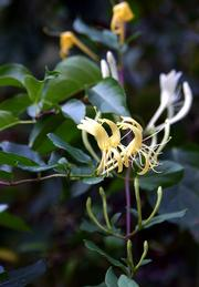 Honeysuckle is among plants that produce a sweet aroma in the garden.
