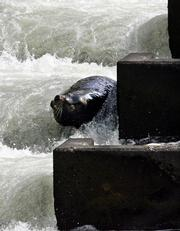 Sea lion C404 is seen in the fish ladder in March at Bonneville Dam in Cascade Locks, Ore. Numerous sea lions head for the dam each spring, but C404 is in a class alone. Extra gates, firecrackers, rockets and rubber bullets so far haven't kept the whiskered rascal out. They will have to think up new strategies, but can't kill C404 because sea lions are protected under the 1972 Marine Mammal Protection Act.