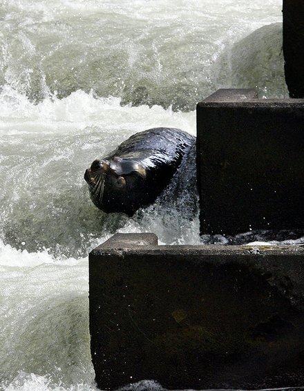 Photos for april 2 2006 for Bonneville dam fish camera