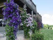 Clematis vines climb up the supports of Lawrence gardener Jack Landgrebe's deck. The vine is a good choice for our area because its flowers bloom in a huge variety of shapes, sizes and colors on many types of foliage from spring until fall.