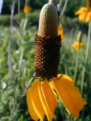 The Prairie Coneflower is found on dry prairies, open waste ground and roadsides. It is a perennial that grows 1 to 3 feet tall.