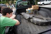Zack Auspitz, 12, left, looks at a captured alligator that had been living in a lake behind his home Monday, May 15, 2006, in North Miami Beach, Fla. Auspitz said the recent fatal alligator attacks have made them think twice about going into the water. He and his family frequently swam in the Miami-Dade County lake where the alligator was captured.