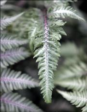 "Pam Borchardt tends to Japanese painted ferns in her backyard. She says they are ""a lovely shade of gray."""