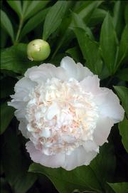A white peony in Joan Reiber's care comes from more than 75 peony plants that cast a variety of colors in her backyard.