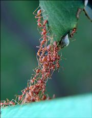 "Ants form a chain with their bodies to bridge the gap between two leaves. ""Swarm-raiding"" African driver ants are the only insects known to kill and consume a human being."