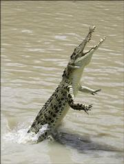 A saltwater crocodile leaps high out of the water on the Adelaide River in Australia's Northern Territory. There have been three reported human deaths by alligators in Florida recently.