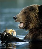 Though instances are rare, grizzly bears have attacked and killed humans.