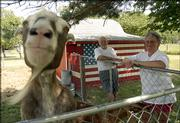 Sugar, a billy goat, jumps up to inspect a camera, as Marvin and Sheila McCurdy look on from the right. Sugar and his roommate, Clyde, stay in the barn, painted as a flag, at the McCurdy's home in northwest Lawrence.