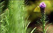 "A butterfly rests on a liatris plant in a graden at the front of Mary and Chuck Loveland&squot;s home west of Lawrence. ""I don&squot;t design a butterfly garden, but I&squot;m not surprised my flowers attract butterflies,"" Mary said."