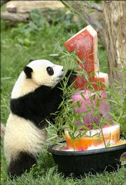 Tai Shan looks over a frozen treat that was made for him on his first birthday Sunday in the outdoor panda exhibit at the National Zoo in Washington, D.C. The frozen melange was filled with apples, yams, carrots and fruit juices.