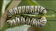 Two monarch caterpillars munch on a leaf at New York School's butterfly garden on Monday. Chip Taylor, director of Monarch Watch, expects a larger-than-average population of monarch butterflies to stop through Lawrence next month during their annual migration to Mexico for the winter.