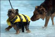 Strapped in a floatation device, Tiger, a female Yorkshire terrier, walks leg-deep in the wading pool at Lawrence Aquatic Center, 727 Ky., and receives an inquisitive sniff from a passing dog. Hounds from across Lawrence took their turn swimming in the pool Tuesday during the annual Pooch Plunge.