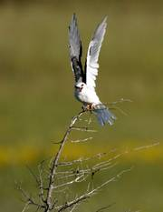 A white-tailed kite, native to Central and South America, has been sighted north of Lawrence, marking only the third documented time the bird has been seen in Kansas.