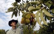 Charlie NovoGradac walks through his farm, Chestnut Charlie's, north of Lawrence, looking for ripe chestnuts ready for picking this time of year. Nuts can thrive outside of coastal locales like Florida and California. Chestnuts, pecans and walnuts will grow in Kansas.