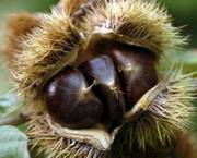 In addition to chestnuts, shown above, Chestnut Charlie's dabbles in pecans, black walnuts and the experimental, cold-hardy Carpathian (Persian) walnuts.