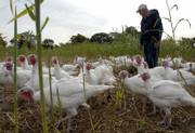 John Vesecky walks in a large pen with his broad-breasted white turkeys at his farm in southern Douglas County. John and Sharon Vesecky's family farm, 1814 N. 600 Road, will be one of the farms featured during the 2006 Kaw Valley Farm Tour. The Veseckys also will have heritage turkeys, guineas, elk and a petting zoo at their farm during the event.