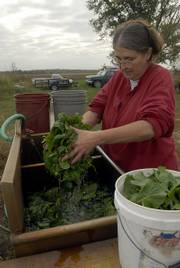 Mary Jo Mensie, of Tree Corners Farm northeast of Lawrence, got up early to pick her spinach for the Lawrence Farmers Market last week. Mensie said she would take about seven pounds to the market and that her spinach would last until the middle of November.