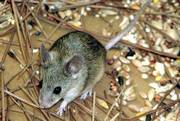 Mus cypriacus, or the Cypriot mouse