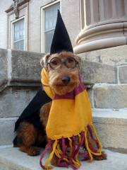 """Moe the Welsh Terrier, hoping to get lots of doggy treats as """"Hairy Pawter""""."""