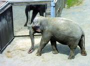 Happy, a female Asian elephant at the Bronx Zoo in New York, suggests from her behavior that pachyderms can recognize themselves in a mirror.