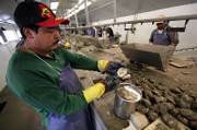 Andel Fernandez shucks fresh Maryland oysters on the assembly line at Kellum Seafood in Weems, Va. Tommy Kellum, the company's vice president, is a sponsor of a proposal to open a long-closed section of the Rappahannock River to oyster harvesting.