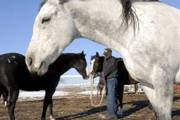 Steve Gannaway tends to some horses that he and his wife, Vera Gannaway, have on their ranch near Baldwin City. Two of their horses are animals that they rescued from slaughter. Some federal lawmakers are pushing for the Virgie S. Arden American Horse Slaughter Prevention Act, which would ban the sale and transportation of horse meat for consumption.