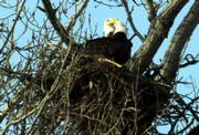 A pair of bald eagles help construct their nest.