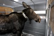 Outfitted with a radio collar, a moose waits in a trailer east of Huntsville, Utah, ready for transport to Colorado. Up to 25 moose were captured and sent out of state.