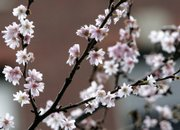 A tree flowers in January on Beacon Hill in Boston in this photo taken Saturday. The lower 48 United States are coming off the warmest year on record, a phenomenon many scientists attribute to global warming.