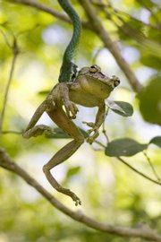 While on an expedition in the Dominican Republic, Rick Stanley, of Bethesda, Md., snapped a picture of a tree frog's struggle with a green vine snake before his friend Rubio caused the snake to release its prey. Stanley was named Young Wildlife Photographer of the Year for 2006.