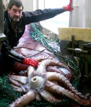 This photo released by New Zealand Fisheries Department  shows an unidentified New Zealand fisherman with a giant squid caught this week in the Ross Sea, Antarctica. The creature, known as a colossal squid, is thought to be the largest squid found anywhere in the world, weighing an estimated 990 pounds. Colossal squid are found in Antarctic waters and are not related to giant squid found around the coast of New Zealand. Giant squid grow up to 39 feet but are not as heavy.