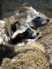 Raccoon dogs are seen in a cage in Tokyo's Ueno zoo in this 2003 file photo. An animal advocacy group says an investigation has found coats with fur from dogs. Raccoon dogs, a canine species native to Asia, aren't kept as pets and importing their fur is not illegal, but they are still a type of dog.