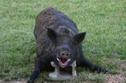 This wild boar was shot and killed two years ago by Scott Besler, who lives in rural Douglas County near Clinton Lake. Wild hogs, or feral pigs, have become a growing problem in Kansas because they can spread disease to livestock and domestic a