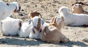 Bob Throop and Jeff Hill think someone is stealing young goats from their goat-raising enterprise northeast of Lawrence after some have gone missing without a trace.