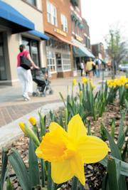 Daffodils bloom early this spring in downtown Lawrence, where the scenic atmosphere is part of the area's retail cachet.