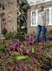 Purple azaleas brighten the front yard at Lungstrum's home. She walks in the background near a flowering dogwood tree.