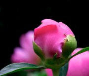 Peonies come in two varieties: tree and herbaceous.Tree peonies grow to eye level on woody stems with few branches and are not used as cut flowers. Herbaceous peonies produce bushy stems that are green, pink or red, and grow 2 to 4 feet high.
