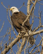 A bald eagle sits in a cottonwood tree in Douglas County. The Interior Department will announce today that it is removing the Amer-ican bald eagle from the protection of the Endangered Species Act.