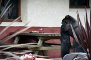Escaped gorilla Bokito is seen at Diergaarde Blijdorp zoo Friday in Rotterdam, Netherlands. Bokito escaped from an enclosure and injured four people Friday at the zoo, a zoo director said. Bokito bit a woman and injured three others before being shot with a sedative dart.