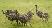 A flock of 3-month-old emus graze at Sundance Emu Ranch east of Lawrence. The birds typically are slaughtered at around 14 months old.