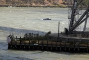 One of two wayward humpback whales swims under the Carquinez Bridge in Crockett, Calif. After spending more than two weeks in the fresh water of the Sacramento Delta, the mother humpback whale and her calf made significant progress toward the Pacific Ocean on Tuesday by swimming under the bridge.