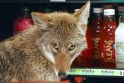 A coyote looks around in a cooler April 3 at a Quiznos sandwich shop in Chicago. Increased encounters with coyotes in urban areas prove that the remarkably adaptive critters, famous for roaming rural stretches, prairies and western deserts, have gone metropolitan.