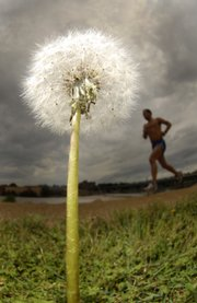 High pollen levels can make life miserable for allergy sufferers. Plants such as this dandelion along the Kansas River can be many people's worst enemy.