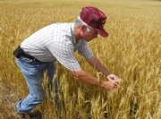 John Werth, of Werth Aerial Spraying, examines a field of wheat for the presence of the wheat head army worm in a field near Schoenchen.