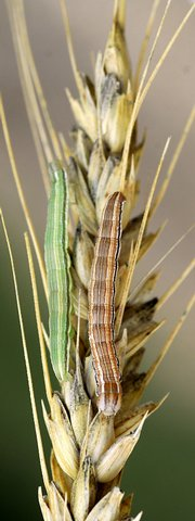 Wheat head army worms attack a head of winter wheat.