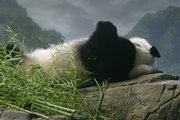 """Female giant panda Mei Xiang sleeps heavily Friday after zoo staff determined she is not pregnant but was experiencing a pseudopregnancy during the past several months in Washington. National Zoo staff expect Mei Xiang to return to """"normal,"""" both hormonally and behaviorally, in the coming days."""