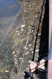 Dead fish float in oil-contaminated water at a bridge in South Coffeyville, Okla. The spill of more than 71,000 gallons of crude oil originated north of the state line in Coffeyville, Kan. Experts are now discussing how to clean up the environmental damage caused by the spill.