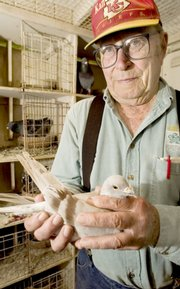 "John ""Doc"" McLean holds one his top racing birds, which he refers to as ""Silver"" due to the color of its feathers. Most of the pigeons are simply called by their assigned number; McLean explained that naming them makes them too close to a family pet. McLean, 85, has been raising pigeons since he was 9 years old."
