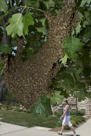A massive colony of honey bees estimated at a couple thousand swarm on a tree along Jayhawk Boulevard at Kansas University on Tuesday.  This colony of bees branched off from the main hive of honey bees located inside the Natural History Museum.  Entomologists believe the hive increased in size, causing a split in the hive on Tuesday.