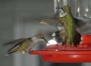 One hummingbird eats from a feeder while another makes a soft landing in Connie Robertson's backyard at her home southwest of Lawrence. The tiny birds have been passing through the area for the past three weeks on their migration south to Mexico and Central America.